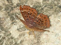 Zemeros flegyas allica (Punchinello)