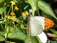 Hebomoia glaucippe glaucippe (Great Orange Tip)