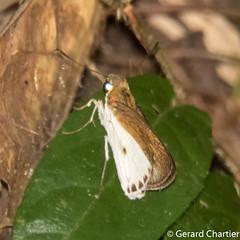 Iton semamora semamora (Common Wight)