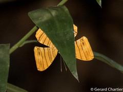 Chersonesia risa risa (Common Maplet)