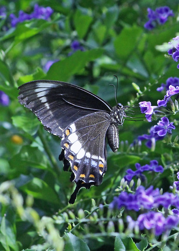 Orchard Swallowtail Butterfly 006