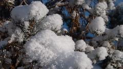 Week 49 - Storm - Snow on Pine Tree