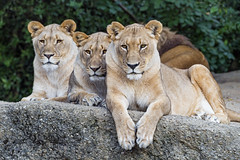 Three lionesses posing well, again