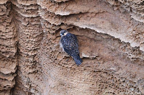 Falco della regina _019