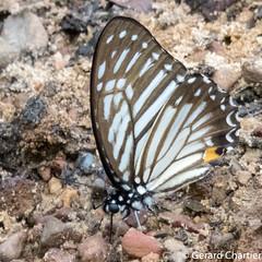 Graphium xenocles lindos (Great Zebra)