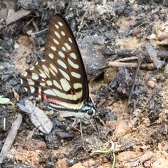 Graphium arycles sphinx (Spotted Jay)