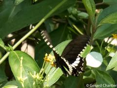 Papilio polytes romulus (Common Mormon)