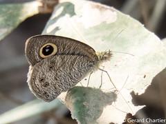 Ypthima baldus baldus (Common Fivering)