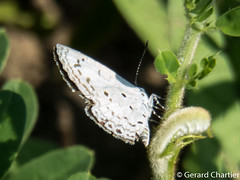 Acytolepis puspa gisca (Common Hedge Blue)