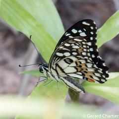 Papilio demoleus malayanus (Lime Butterfly)
