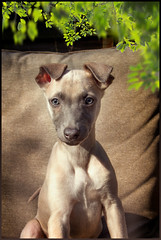 Bailey the Whippet