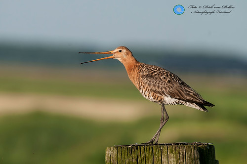 Blacktailed Godwit ♀ at Reidfjid near Roodkerk(FR) Netherlands - 6th of june 2014.