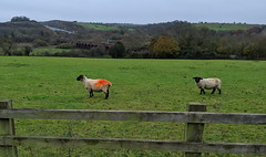 The Sheep With The Orange Back