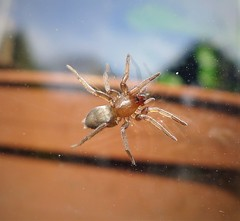 Mouse Spider. Scotophaeus blackwalli