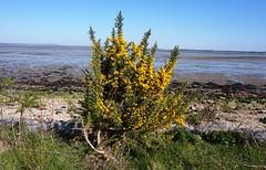 Gorse bush by Langstone Harbour