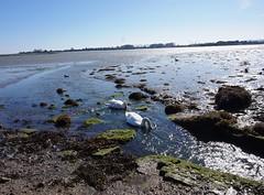 Swans feeding in Langstone Harbour 3