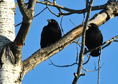 Ravens in a tree - Drummond Island, Michigan in Winter
