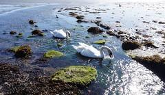 Swans feeding in Langstone Harbour 1