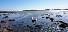 Swans feeding in Langstone Harbour 4