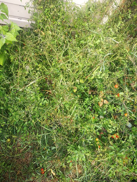 The cherry tomatoes have gone wild.
