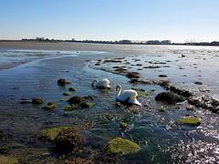 Swans feeding in Langstone Harbour 7