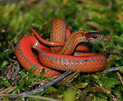 Northern Redbellied Snake (Storeria occipitomaculata occipitomaculata)