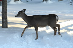 Deer in the Back Yard -- Drummond Island, Michigan in Winter