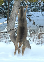 Deer Fight in the Back Yard -- Drummond Island, Michigan in Winter
