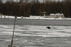 Crow flying over the ice in Bass Cove -- Drummond Island, Michigan