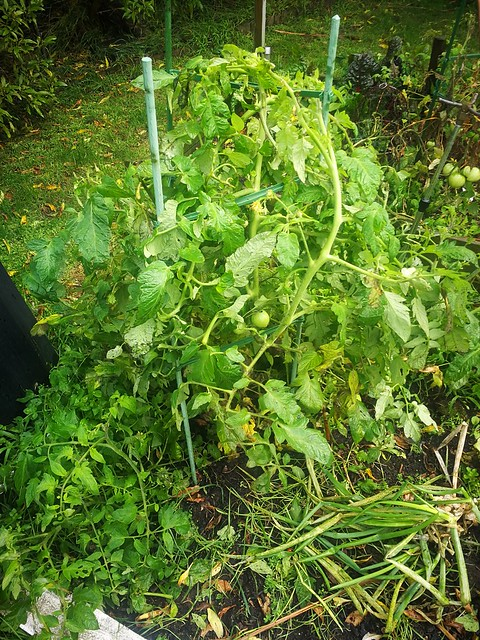 Finally staked the late tomatoes