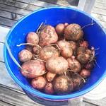scots potato