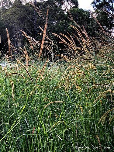 Setaria sphacelata - South African Pigeon Grass, African Bristlegrass