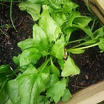 spinach Santana