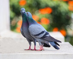 Photo of two pigeons - Credit to https://homegets.com/