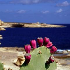 Xrobb il-Għaġin, Marsaxlokk, Malta
