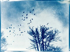 Cyanotypes.