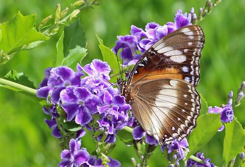 Eggfly Butterfly 012
