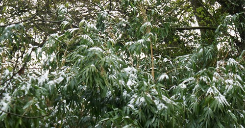 Au jardin, neige sur les bambous, Bosdarros, Béarn, Pyrénées Atlantiques, Aquitaine, France.