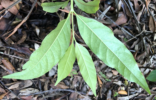 Randia audasii - Daintree Gardenia
