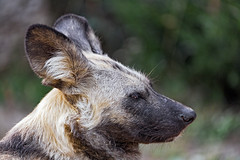 Profile of a wild dog