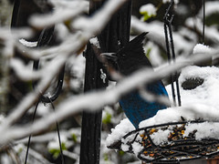 Spring Break Snow - Stellar Jay