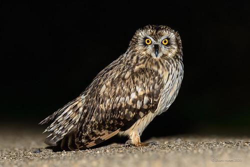 Coruja-do-nabal   Short-eared owl   Asio flammeus