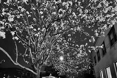 Pear Trees At Night