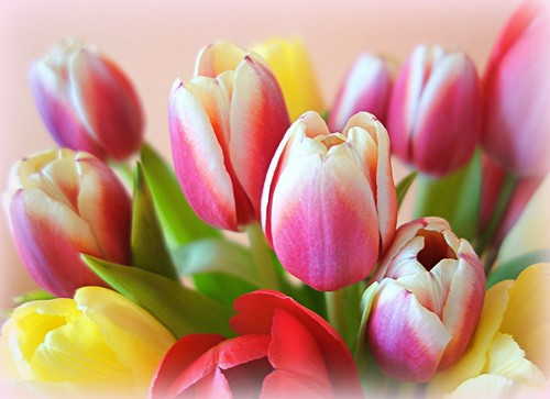 Beautiful colors of tulips