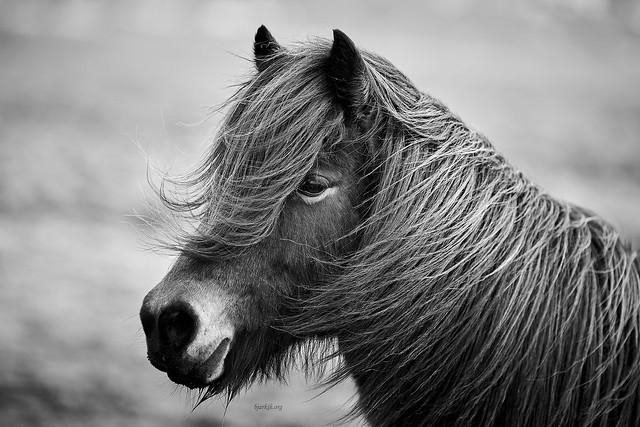 Hairy Icelandic beauty