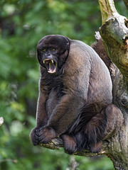 Woolley monkey yawning