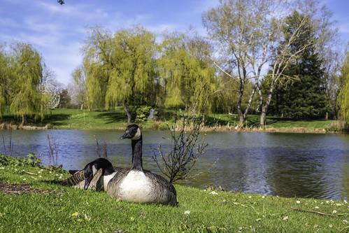 Geese enjoying the sun!