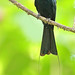 Greater Racket-tailed Drongo (Dicrurus paradiseus) 大盘尾