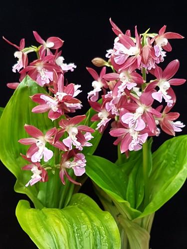 Calanthe sieboldii hybrid