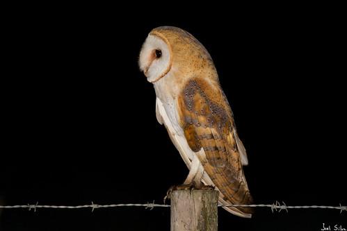 Coruja-das-torres - barn owl (Tyto alba)